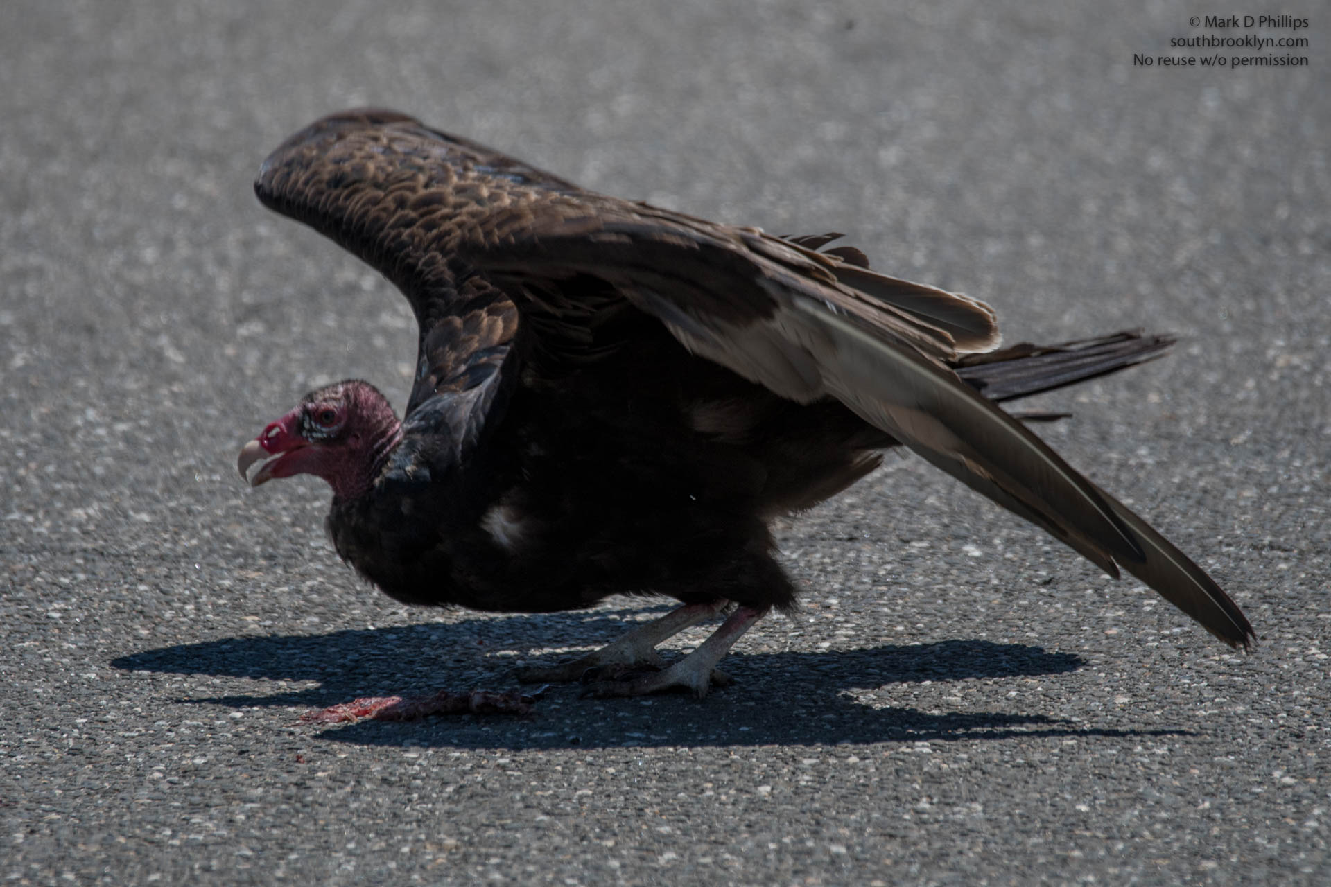 A Turkey Vulture eats from road kill in Springfield, Massachusetts.